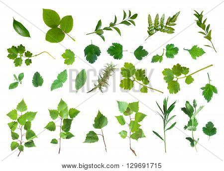 Fresh Green Laves Natural Set Isolated on White Background