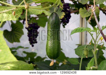 A fresh Home grown fresh cucumber/ pickle.
