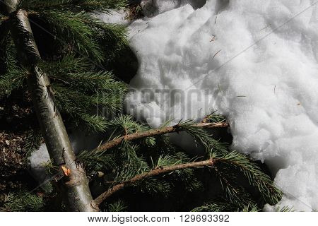 A branch of pine needles in the winter snow.