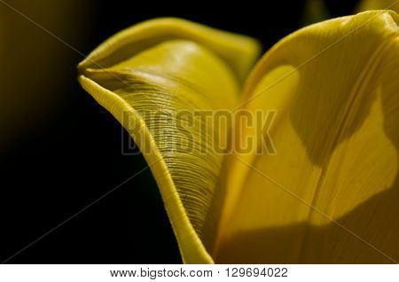 Nature Abstract: Close Look at the Delicate Yellow Tulip Petals of Spring