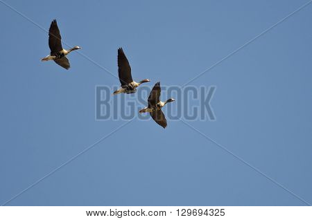 Three Greater White-Fronted Geese Flying in a Blue Sky