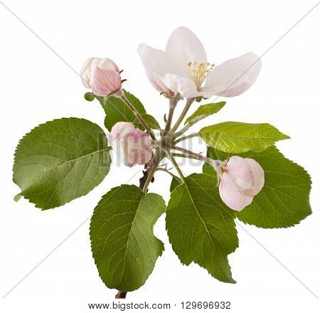 Apple branch with blossoms, isolated on white background