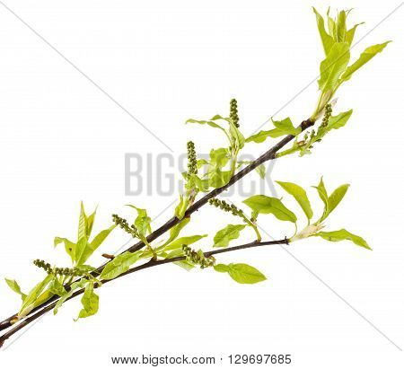 Bird cherry stem with buds isolated on white background. Prunus padus