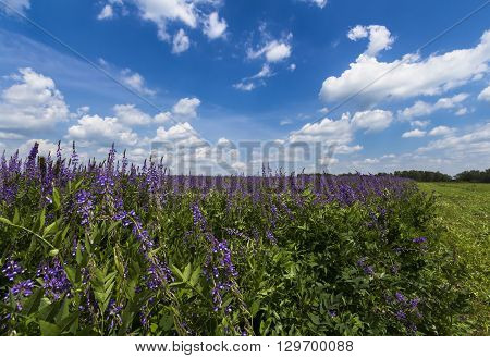 Group of lupines growing on the meadow with blue sky and clouds