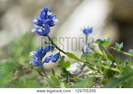 Common milkwort (Polygala vulgaris) blue flower. Perennial hebaceous plant in the family Polygalaceae flowering. A typical species of calcareous grassland meadows