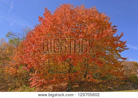 Sugar Maple in Full Color along the Blue Ridge Parkway in Virginia