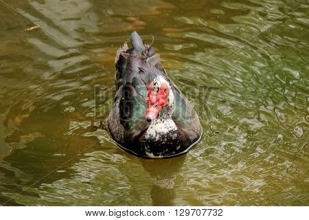 A colorful Goose swimming in the water
