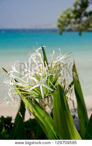 Crinum lily in shadows of Kaunaoa beach; Big Island; Hawaii