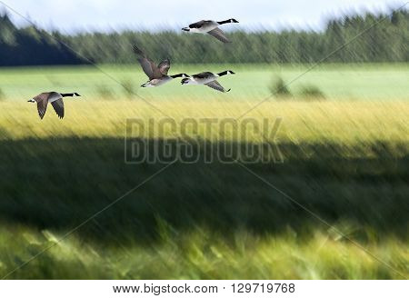 A blurry farmland in summer colors. Green and yellow fields, sunshine and shadows. Forest in the background. Canadian geese in migration.