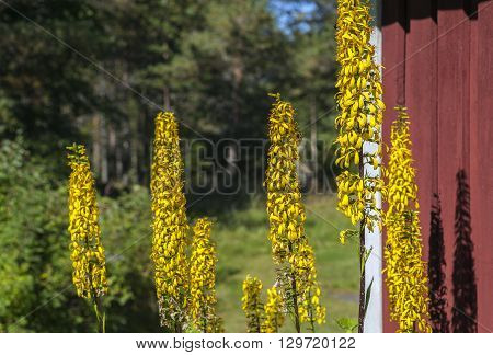 High yellow flower, the Rocket at a red wall. Sunny garden, forest in the background. Ligularia Stenocephala.