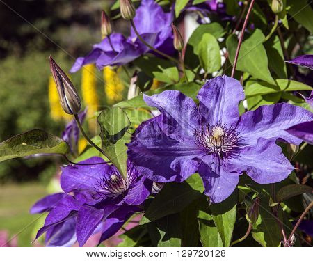 Lilac, purple flowers in a garden in closeup, macro. Colorful flowers in bright sunshine.