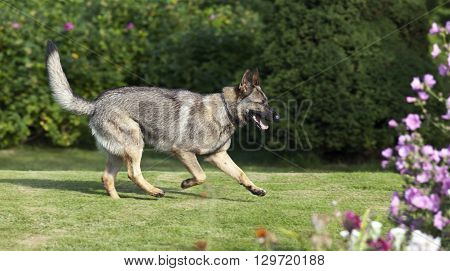 German Shepherd plays on a lawn. Moves ahead, forward.