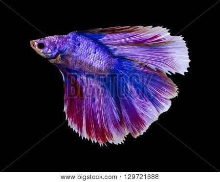 Fish capture the movement of fish isolated on black background.[ breed tail crown flake Diamond ]