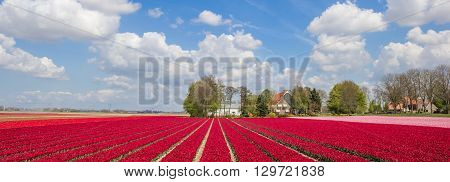 Panorama Of Pink And Red Tulips
