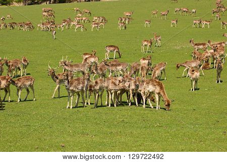 deer herd on pasture near the forest