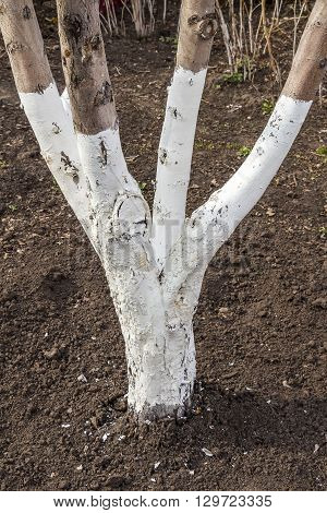 Whitewashing the trunks of trees from the garden pests