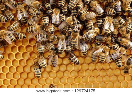 many bees on a honey cell in a bee hive