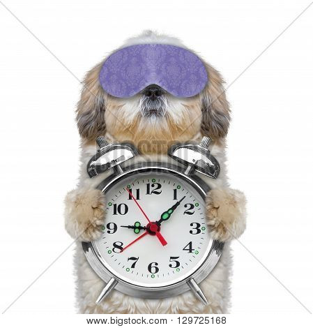 dog holding an alarm clock in his paws -- isolated on white