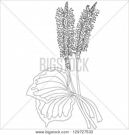 Herbs and Wild Flower. Botany. Plantain vintage flower. Black and white illustration in the style of engraving. Isolated vector.