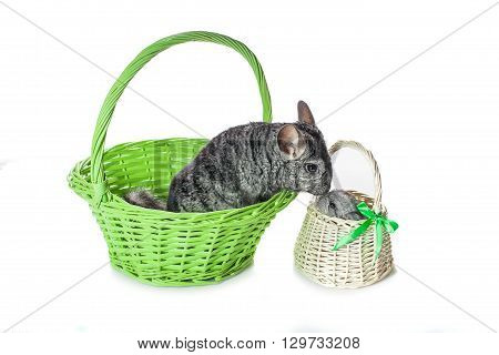 Chinchilla mother kissing baby sitting in baskets isolated over white background. Copy space.