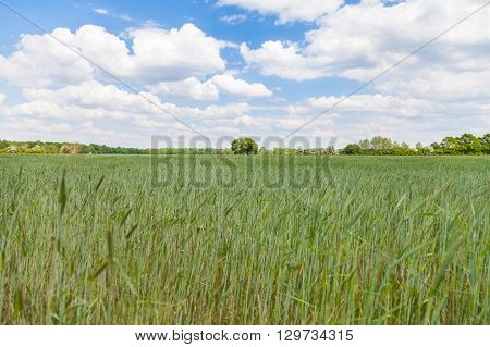 ripening corn field and a tree in the background