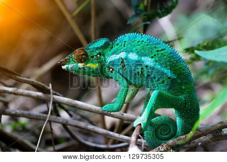 Chameleon with a twisted tail on a branch.