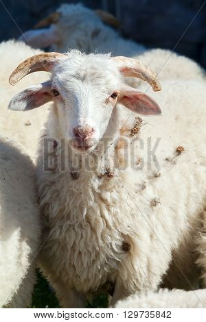 Young sheep looking at the camera. portrait  animal