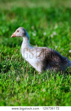 Nestling goose on green grass at sunset