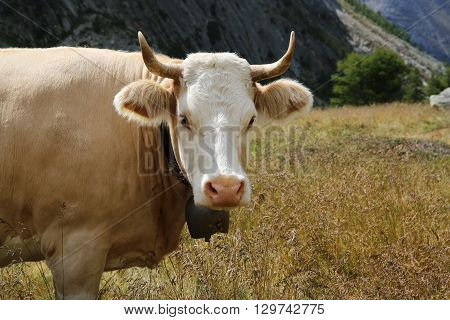 A Cow in the Pennine Alps. Switzerland