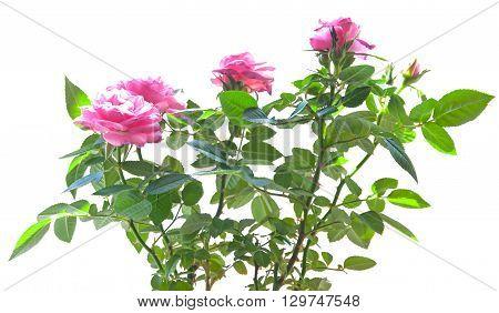 pink mini rose bush isolated on white background