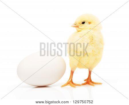 Small Yellow Chicken Near White Chicken Egg