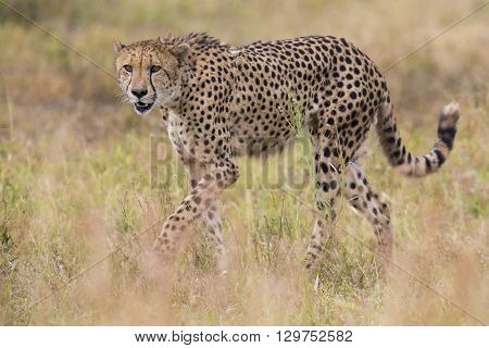 Cheetah hunting through dry grass for a prey to chase