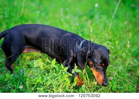 Black Dachshund Hunting Among The Green Grass