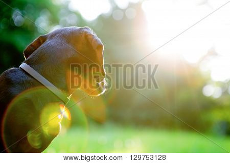 Black Dachshund Looks On The Bright Sun. Backlight