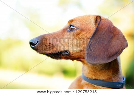 Red Smooth-haired Dachshund Portrait In Profile Closeup