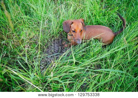 Red Smooth-haired Dachshund Hunting Among The Grass