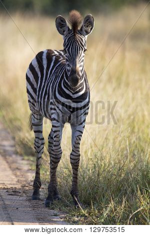 Small zebra foal standing on a road alone looking for his mother