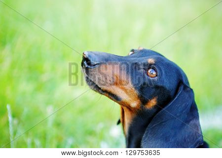 Black And Red Smooth-haired Dachshund Portrait