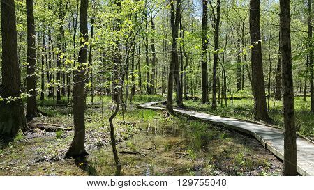 a nature walkway thru a spring forest