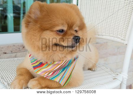 pomeranian puppy dog grooming with short hair cute pet smiling happy