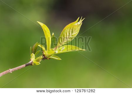 tree branch with spring foliage in the foreground