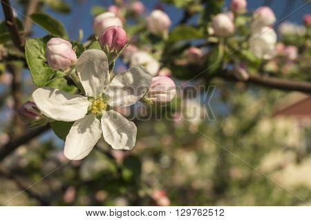 Background from spring flower of the aple trees with white petal in garden