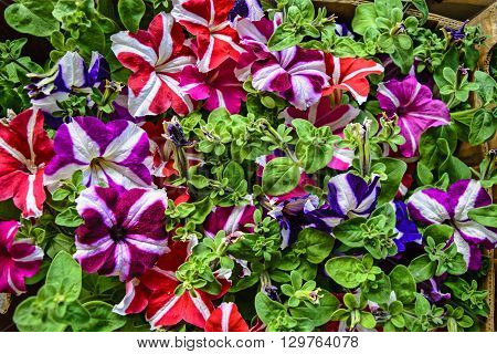 Beautiful decorative plants flower Petunia waiting on customers.