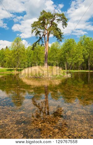 Summer landscape with pine forest on the island among lake