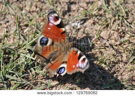 orange butterfly sit on ground under spring sun