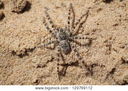 big gray with stripes spider warms on yellow sand of the beach