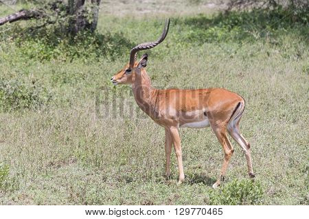An impala standing on the Serengeti in Tanzania, Africa