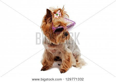 Yorkshire Terrier wearing sunglasses on an isolated background