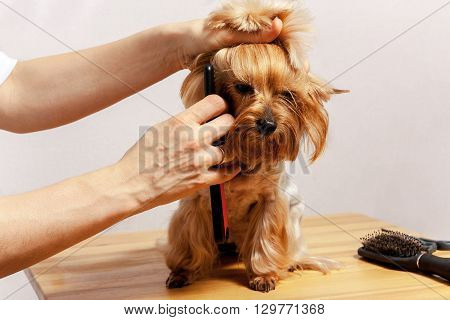 Yorkshire Terrier on isolated background with bow