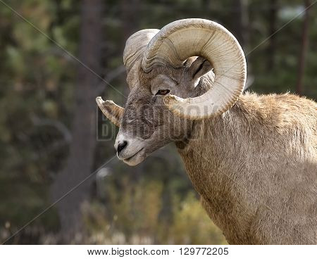 Close up head and shoulders image of a Rocky Mountain Big Horn Sheep ram